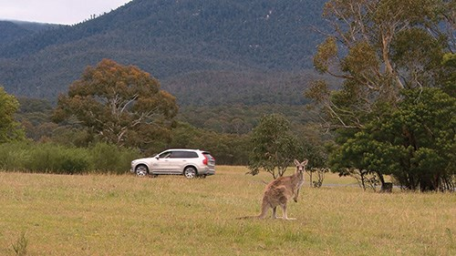 Volvo safety engineers studying kangaroo detection and avoidance in Australia.
