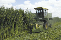 Harvesting of mature hemp plants