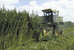 Harvesting of mature hemp plants