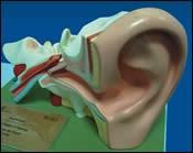 Model Ear