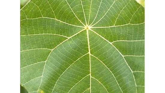 Dicot leaf
