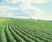 Soybeans and castor beans