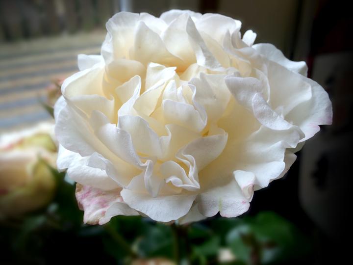 Rolls rose