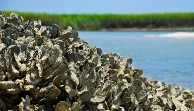 Oyster reef used in Purdue University research