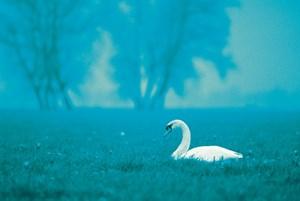 Black Swan Be-Ready Planning