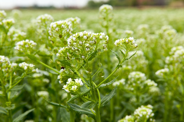 Danimer Scientific gets grant to explore pennycress oil for production of PHA
