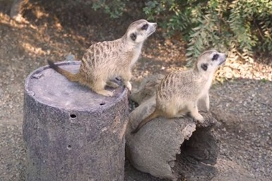 meerkats at the Cincinnati Zoo with 3D printed enrichment device